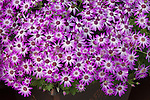PERICALLIS 'SPRING TOUCH BICOLOR PINK', CINERARIA