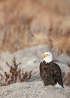 This is the one eagle that wouldn't fly off when we pulled up to take photos.