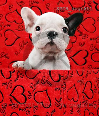 Xavier, ANIMALS, dogs, photos, SPCHDOGS851,#a# Hunde, perros
