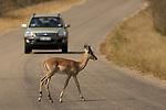 impala  (Aepyceros melampus)