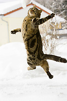 cat jumping in snow, domestic cat, male,