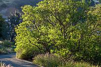Chilopsis linearis - Desert Willow, Californa native tree in morning light at Leaning Pine Arboretum, California garden
