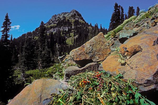 PIKA bringing flowers to haypile..Alpine resident. Cascade Mountains..Summer. (Ochotona princeps).