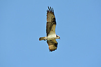 Osprey of Lac La Biche