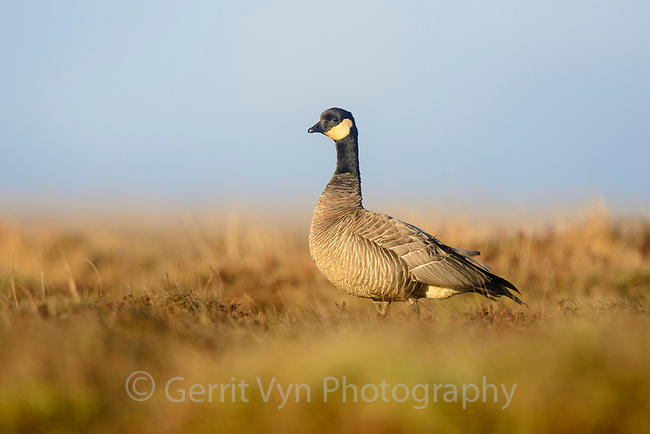 Cackling Goose (Branta hutchinsii minima). Yukon Delta National Wildlife Refuge, Alaska. June.