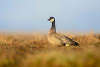 Cackling Goose (Branta hutchinsii minima). Yukon Delta National Wildlife Refuge, Alaska. June.