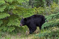 Black Bear (Ursus americanus) walking through northern forest.  Spring.