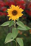 3008-DK Annual Sunflower, Helianthus annus, in Wayzata, Minnesota
