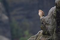 Turmfalke, auf Fels, Felsen in seinem Lebensraum, Turm-Falke, Falke, Falken, Falco tinnunculus, falcon, falcons, European Kestrel, Eurasian Kestrel, Old World Kestrel, Common Kestrel