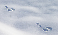 There are loads of snowshoe hares in Yellowstone, but one usually only sees their tracks.