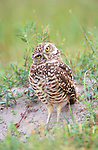 Burrowing Owl, Cape Coral, Florida, USA