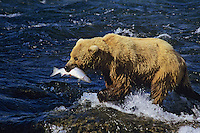 Coastal grizzly or alaskan brown bear (Ursos arctos) catching salmon, Brooks Falls, Katmai National Park, Alaska.  Summer.
