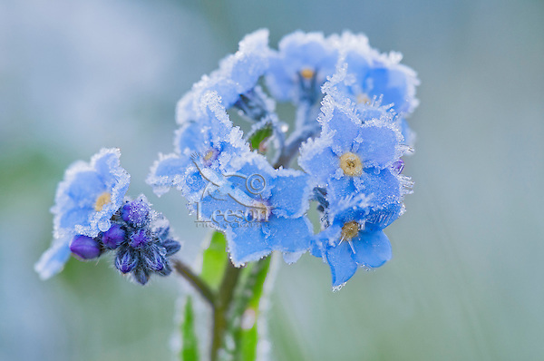 Frosted Forget-me-not (Myosotis ?) wildflower.  Rocky Mountains, USA.