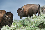 Male American Bison (Bison bison) grazing in sage brush in the Lamar Valley. Yellowstone National Park, Wyoming, USA. June