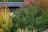 Westringia fruticosa 'Blue Gem' Australian shrub in Southern California garden