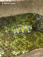 0430-1111  Mang Mountain Pit Viper (China Mangshan Pitviper), Only Non Cobra that Can Spit Venom, Zhaoermia mangshanensis (syn. Trimeresurus mangshanensis)  © David Kuhn/Dwight Kuhn Photography