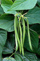 HS30-118x  french filet bean - Travera variety