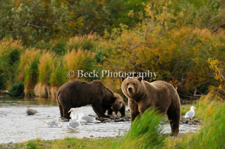 Two cubs hurry to their mother grizzly bear, Ursus arctos horribilis, who has a salmon on shore for them to eat, as another large grizzly looks on.