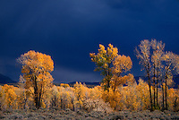 749450406 golden colored narrowleaf cottonwoods populus angustifolia during an autumn storm in grand tetons national park wyoming