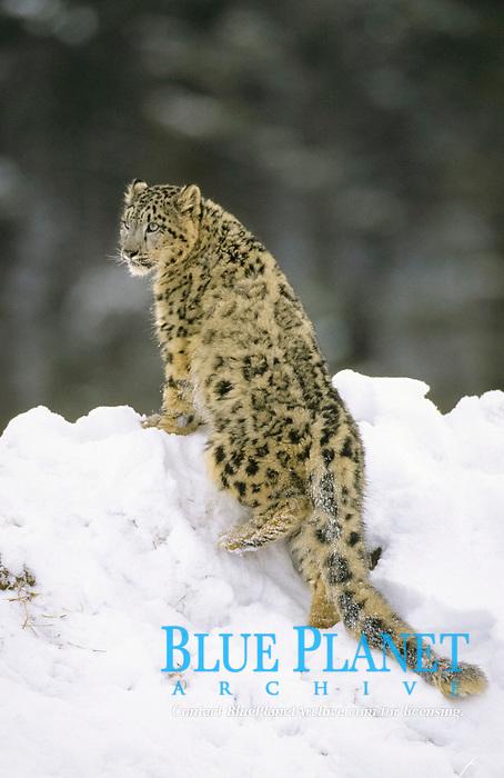 Snow Leopard (Panthera uncia), climbing onto snow mound