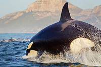 orcas or killer whales, Orcinus orca, hunting long-beaked common dolphins, Delphinus capensis, False Bay, South Africa
