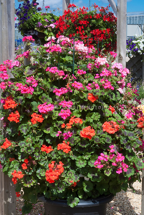 Geranium (Zonal Pelargonium) 'Antik Mixed' orange, pink, colors in hanging pot container, with blue sky, growing upright with wire cage support in middle. Ivy geranium pot of red flowers behind