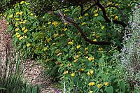 Phlomis russeliana, Turkish Sage or Jerusalem sage flowering in Blake Garden