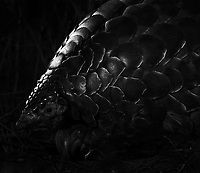 """My main wildlife goal on this trip—and the main reason we visited Tswalu—was to see my first pangolin. This is one of the """"holy grail"""" African wildlife species, and was the top animal on my wish list. It's also the world's most trafficked animal, and a recent multi-year drought hit the Tswalu population hard. We were fortunate to see two pangolins (both tagged with radio transmitters for research), and the first encounter, though brief, produced better-than-expected images in the long grass."""