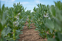 Spring beans in flower - Lincolnshire, June