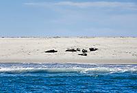 Sunbathing seals, Monomoy National Wildlife Refuge, Chatham, Cape Cod, Massachusetts, USA.