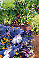Rainbow Chard , Red Pak Choi, Chinese Red Pointed cabbages, pot herb calendula, rainbow chard, carrots, peppers, lettuce in vegetable garden raised beds, a mixture of veggies