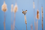 A Marsh Wren singing from a cattail stem