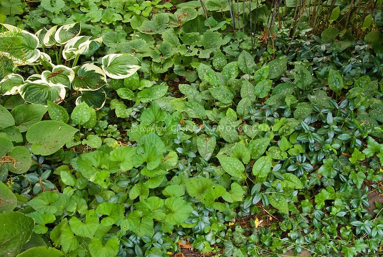 Ground cover plant mixture: variegated Hosta, Vinca minor, viola violets, pulmonaria, mertensia in shade garden