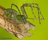"0205-07pp  Green Lynx Spiderling  - Peucetia viridans  ""Eastern Variation"" - © David Kuhn/Dwight Kuhn Photography"