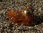 Typical Bobtail Squid, Sepiadarium kochi