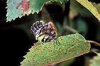 Große Harzbiene, schneidet Blattstück aus Blatt, Trachusa byssina, Anthidium byssinum