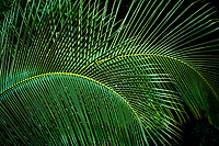 Close up of palm tree leaves. Kauai, Hawaii