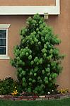 8156-CD Long Leafed Yellow-wood, Podocarpus henkelii, growth habit, at Seal Beach, CA