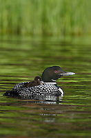 Common Loons (Gavia immer) mother carrying young.  Northern North America, Summer.  Sometimes also called Great Northern Loon or Diver.