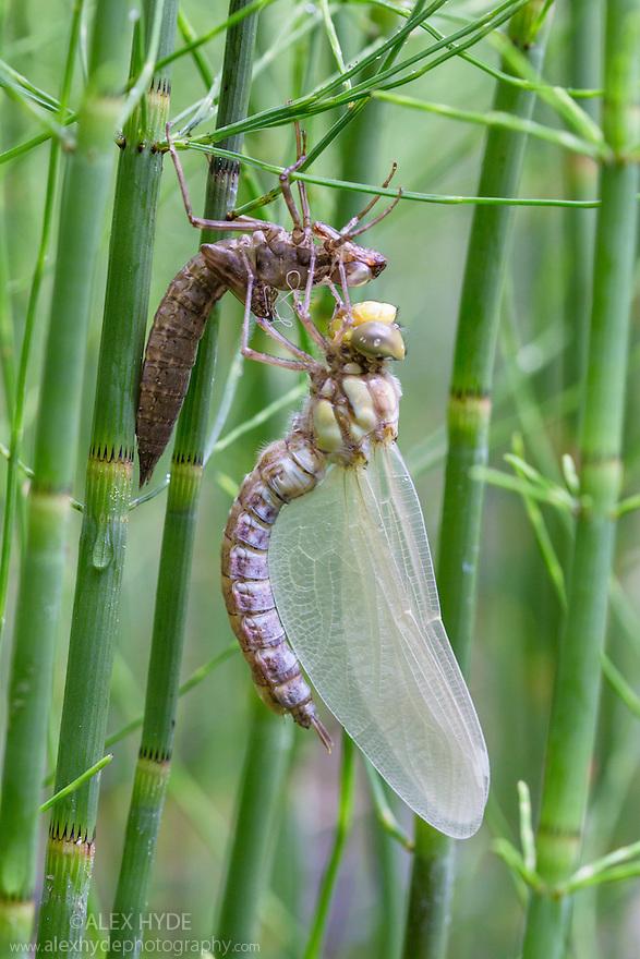 Dragonfly {Aeshnidae} emerging from exoskeleton of nymph. Nordtirol, Austrian Alps, Austria, July.