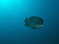 Gray Angelfish swimming freely in open water.
