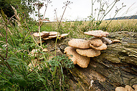 Fungi growing on a decaying tree trunk - Lincolnshire, July