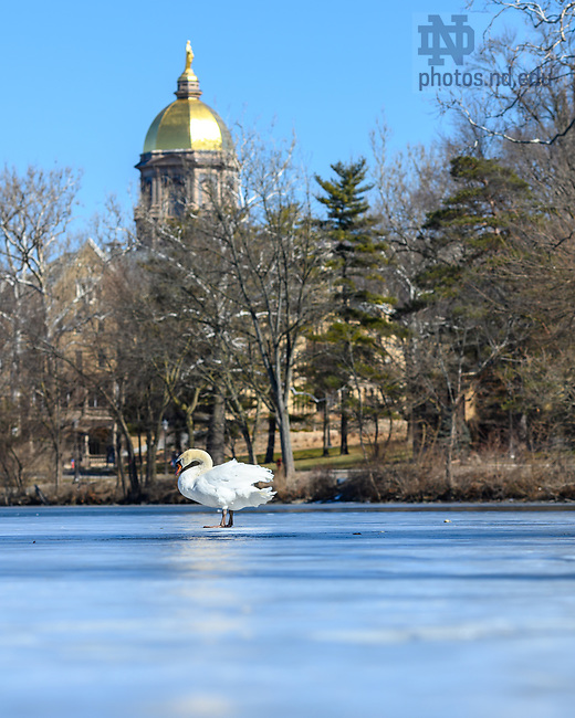 March 5, 2021; A swan on a frozen St. Mary's Lake in late winter. (Photo by Matt Cashore/University of Notre Dame)