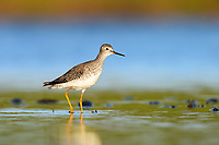 Lesser Yellowlegs (Tringa flavipes)/ Florida. March.