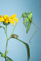 Katydid and gray tree frog together on a Jerusalem artichoke --Sometimes its like we don't speak the same language