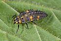 Seven-spot Ladybird larva {Coccinella 7-punctata} Nottinghamshire, UK. May.