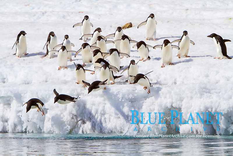 Adelie penguin, Pygoscelis adeliae, flock of adults, diving into the ocean from ice, Antarctic Peninsula, Antarctica, Southern Ocean