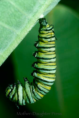 Caterpillar of monarch butterfly begins to attach to milkweed leaf for chrysalis
