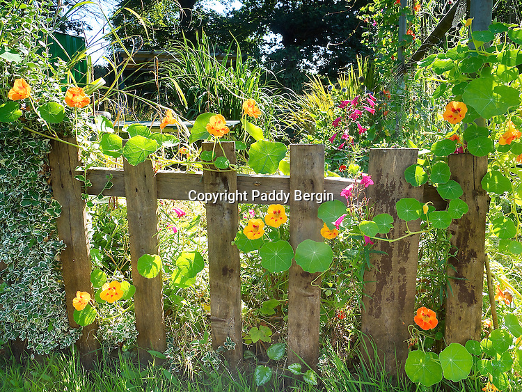This photograph of Nasturtiums growing up a fence was taken in Cheshire Fields Allotments which are in Walthamstow, London E17. It's not my allotment plot but a friends and the pictures were made over a period of 3 years. People who work plots there have a love for growing produce, their own produce and in good soils fed by regular deliveries of horse manure from the Horse Riding School in the Leabridge Road.<br /> <br /> Most plots also have various flowering plants which come into bloom at different times of the year so there is always colour around and usually with bees buzzing and feeding on the flowers.<br /> <br /> I think another quality and passion allotment people have is their ability to use pretty much anything and recycle it to make greenhouses or sheds, fruit cages and compost bins. I'm a pretty good compost bin maker now and we recently discovered a scaffolders yard just down the road who are always trying to dispose of worn out scaffolding boards. <br /> <br /> Stock Photo by Paddy Bergin