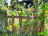 This photograph of Nasturtiums growing up a fence was taken in Cheshire Fields Allotments which are in Walthamstow, London E17. It's not my allotment plot but a friends and the pictures were made over a period of 3 years. People who work plots there have a love for growing produce, their own produce and in good soils fed by regular deliveries of horse manure from the Horse Riding School in the Leabridge Road.<br />
